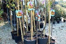 Sorbo Fruttifero / Vendita Online Piante di Sorbo Fruttifero in vaso. Sale Online Table Grapes Vines in pot.