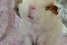 morčata-guinea pig