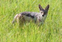 Black-backed jackal, Zadelrug jakhals / Zadelrug jakhals in Botswana