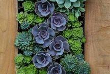 Succulent, Kőrózsa