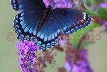 kelebek misali omur:)