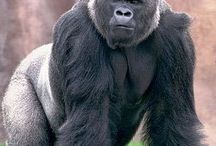 Gorilla / Gorillas are ground-dwelling, predominantly herbivorous apes that inhabit the forests of central Africa. The eponymous genus Gorilla is divided into two species: the eastern gorillas and the western gorillas (both critically endangered), and either four or five subspecies. They are the largest living primates.