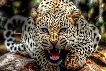 :Wild Cats: / Tigers, Cheetahs, Leopards etc