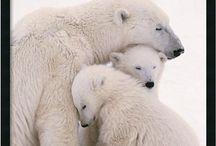 PB / Polar Bear
