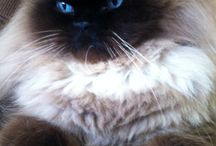 Himalayan and other cats / Oscar the Grouch Kitty  / by Sunny Rush