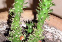 cactus y sucus