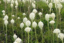 xerophyllum