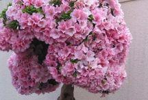Bonsai Rhododendron