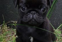 MINI PUGS / HERE YOU CAN FIND PUGS AND OF COURSE MINI PUGS