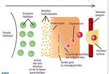 Digestion : absorption