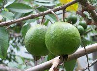 Jamaican Fruits / Assorted Jamaican Fruits