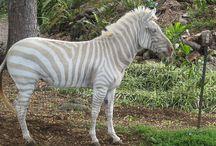 Zebry - nezvyklé zbarvení