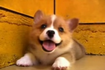 Corgis! / Since I have a Corgi (Darcy), I've fallen in love with this breed!  I like looking at Corgi pictures, especially the funny awkward-sleeping ones.  Or the super-smiley ones.  :-) / by Traci B