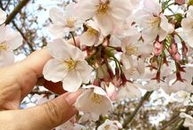 Enjoying the cherry blossoms in Japan, living a #Travelife. www.travelifemagazine.com / Cherry blossoms in Japan, 2016. www.travelifemagazine.com