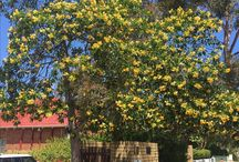 What's flowering in Perth - November / To keep track of what is flowering in gardens around Perth to help with seasonal garden planning. I'm open to local collaborators!