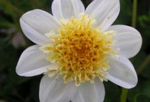 Dahlia Tubers / Dahlias are very versatile, making them very popular and important summer bloomers. They are available in many different colors and flower varieties. Dahlias offer many possibilities and are easy in their use. More and more people are discovering how lovely it is to have dahlias in the garden. Perhaps you will too?