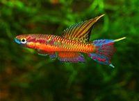 killie fish