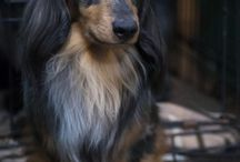 Dachshund Lover / Here's a board for all Doxie lovers!