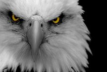 Animals ◊ Eagles, kings of the air