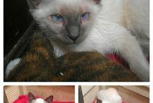 Mittens:) my Siamese Cat