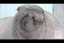 Walrus videos