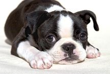 Boston Terriers / My Boston Terrier