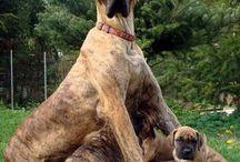 Duitse doggen