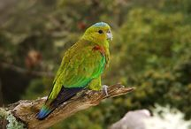"""Hapalopsittaca / Appartengono al genere hapalopsittaca quattro specie di pappagalli sudamericani poco conosciuti in generale e completamente assenti in cattività. Il nome """"hapalopsittaca"""" deriva dal greco e significa """"pappagallo delicato"""": tale definizione indica appunto la difficoltà di sopravvivenza e riproduzione di questi psittacidi al di fuori del loro habitat naturale. http://www.pappagallinelmondo.it/hapalopsittaca.html"""