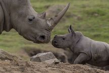 Rhinos / Rhinos are unique and special animals that need our help more urgently than most other species. I will collect images of and info on them here.
