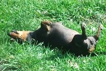 The Life of My Mini Dachshund / My Sweet Dixie!!