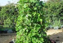 Выращиваем фасоль