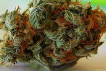 Hawaii Information / Hawaii Medical Marijuana Information
