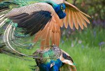 Paons bleus combattant