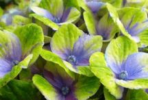 Balsham Blue Hydrangeas