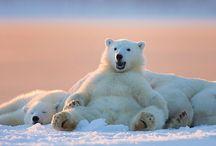 Fam . De osos polares