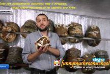Рейши грибы