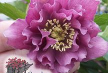 Helleborus / Helleborus are great for woodland gardens and display colorful blooms that may be single or double and may or may not have spotted petals.  The blooms appear in early spring and last from 6-8 weeks.  The foliage of Helleborus is thick and leather like.