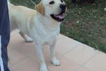 Tucson - Labrador / My Labrador Dog Tucson Il mio cane Labrador Tucson