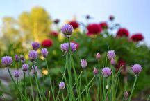 GARDEN: Flowers / Skapandet av en mormorsträdgård i Skillnadens Trädgård. Creating a cottage garden in Sweden.