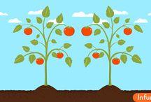 Как обрезать помидоры