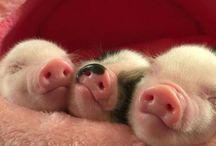 Schweineliebe <3