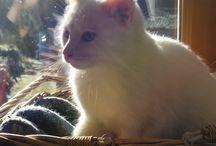 chaton cherche famille / Chaton blanc aux yeux verts à adopter