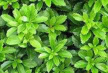 bodendecker immergrün