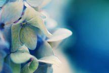 Hydrangea Beauty II / by Veronica Williams