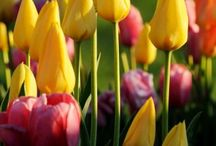 Bulbs make flowers... / Planting bulbs are one of the easiest and most economical way to get color into your landscape. Bulbs are more than just Tulips.... / by Viola Nursery and Greenhouse