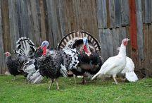 Turkeys / Raising turkeys from poult to turkey dinner. Turkeys for pets, entertainment, and food. Turkeys on the homestead. Raising turkeys for meat. Turkey tips and advice. Heritage Turkeys.