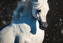 GORGEOUS WHITE HORSES