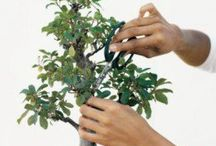 pruning and dwraf bonsaitrees