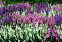ANGELONIA ~ the summer snapdragons