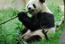 panda a bambus / panda a bamboo